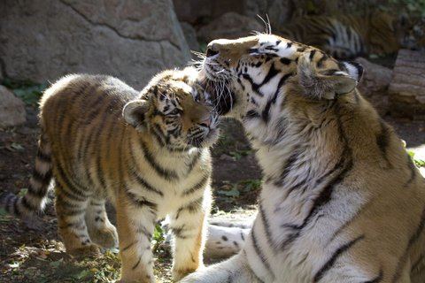 Homewood Stes Denver Dtwn Conv Ctr - Denver Zoo Tigers