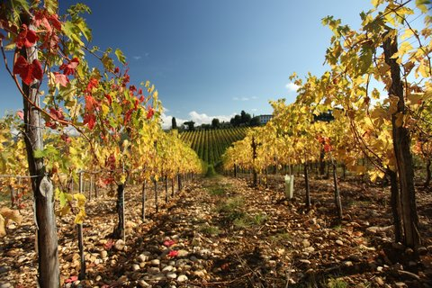 Villa Mangiacane - Autumn Vineyards