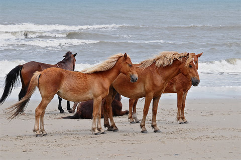 Ramada Plaza Nags Head Oceanfront - Corolla Wild Horses