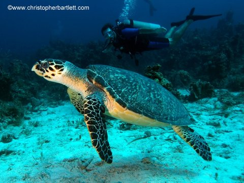 Small Hope Bay Lodge, Andros Island - Diving with a sea turtle