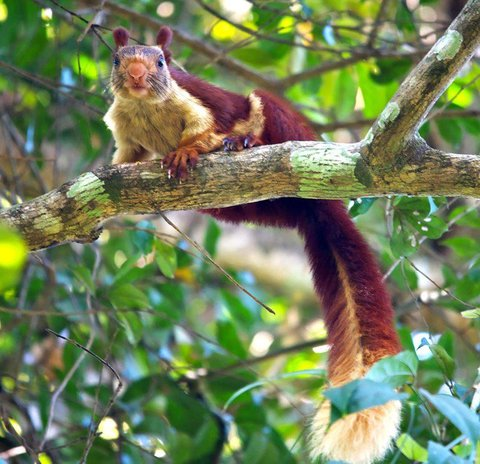 Wild Woods Spa and Resort - Malabar Giant Squirrel
