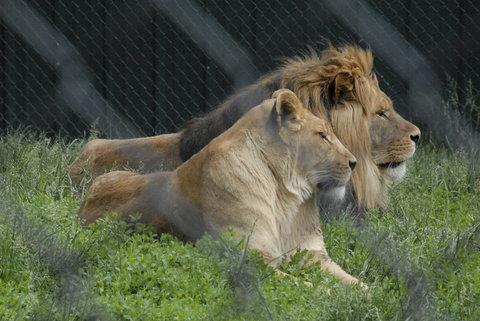 Best Western Santa Fe Inn Hotel - Amarillo Zoo Lions