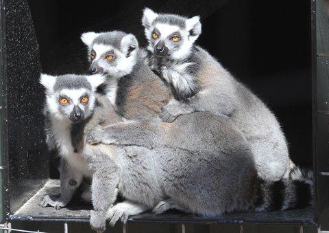 Best Western Santa Fe Inn Hotel - Amarillo Zoo Lemurs