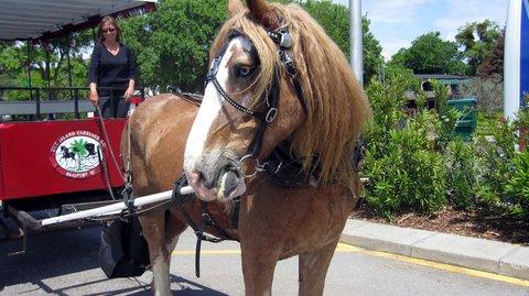 Best Western Sea Island Inn - Horse   Carriage Tours